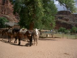 Havasupai Horses